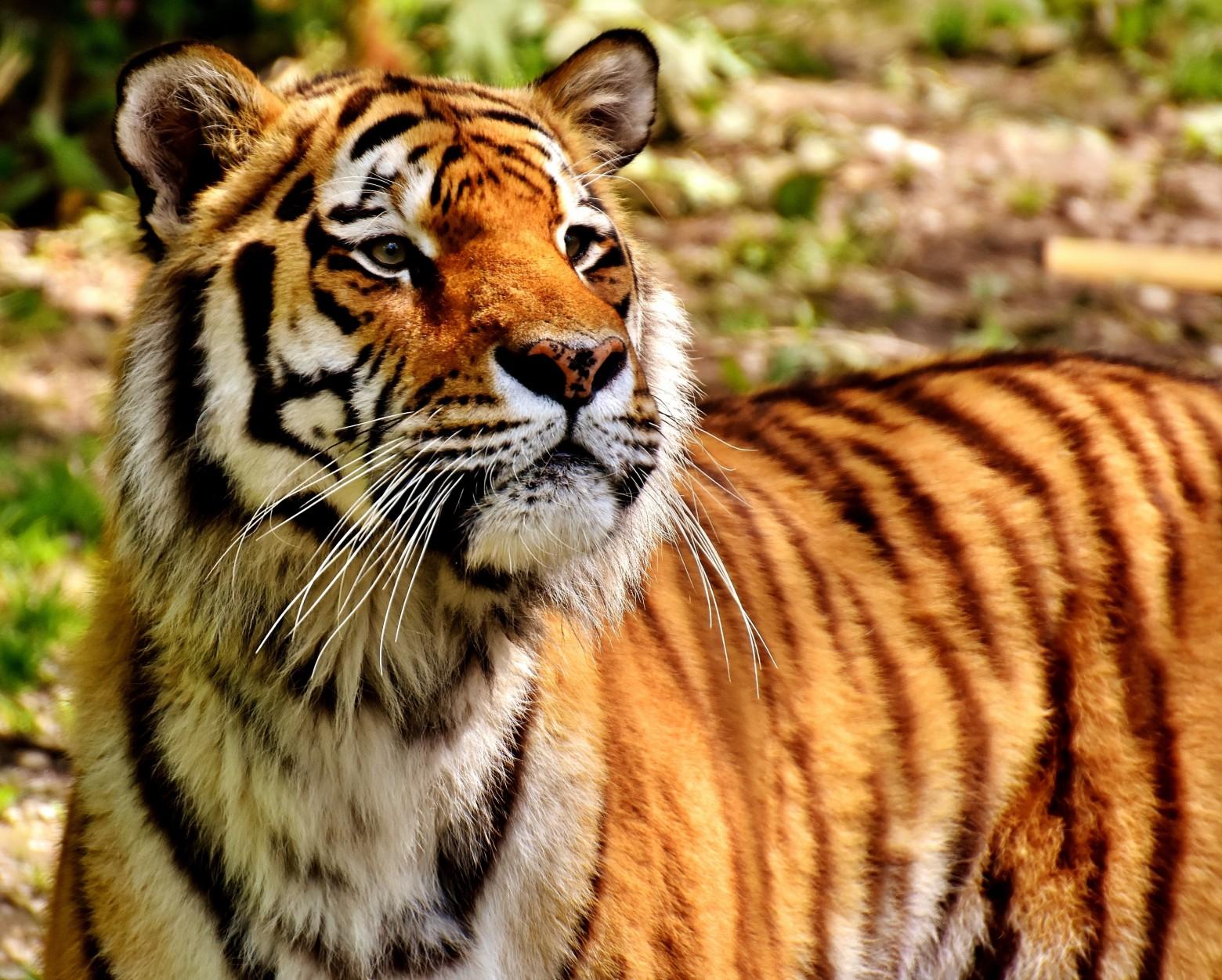 Photos gratuites hd tigre images gratuites et libres - Images tigres gratuites ...