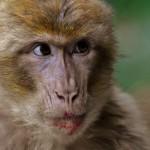 singe macaque de barbarie