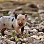 petit cochon porcelet
