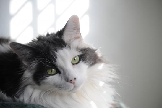 chat avec un regard fixe