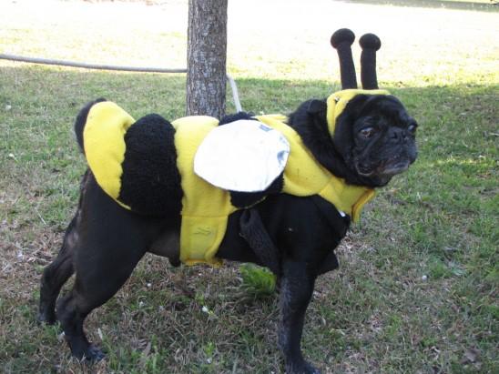 chien carlin noire abeille
