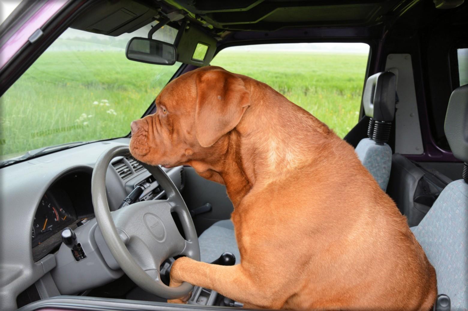Chien Volant chien au volant d' une voiture   images gratuites et libres de droits