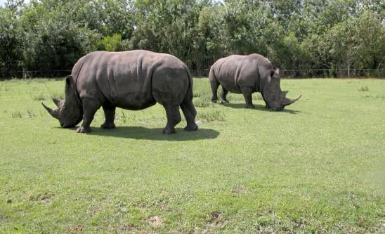 deux rhinocéros