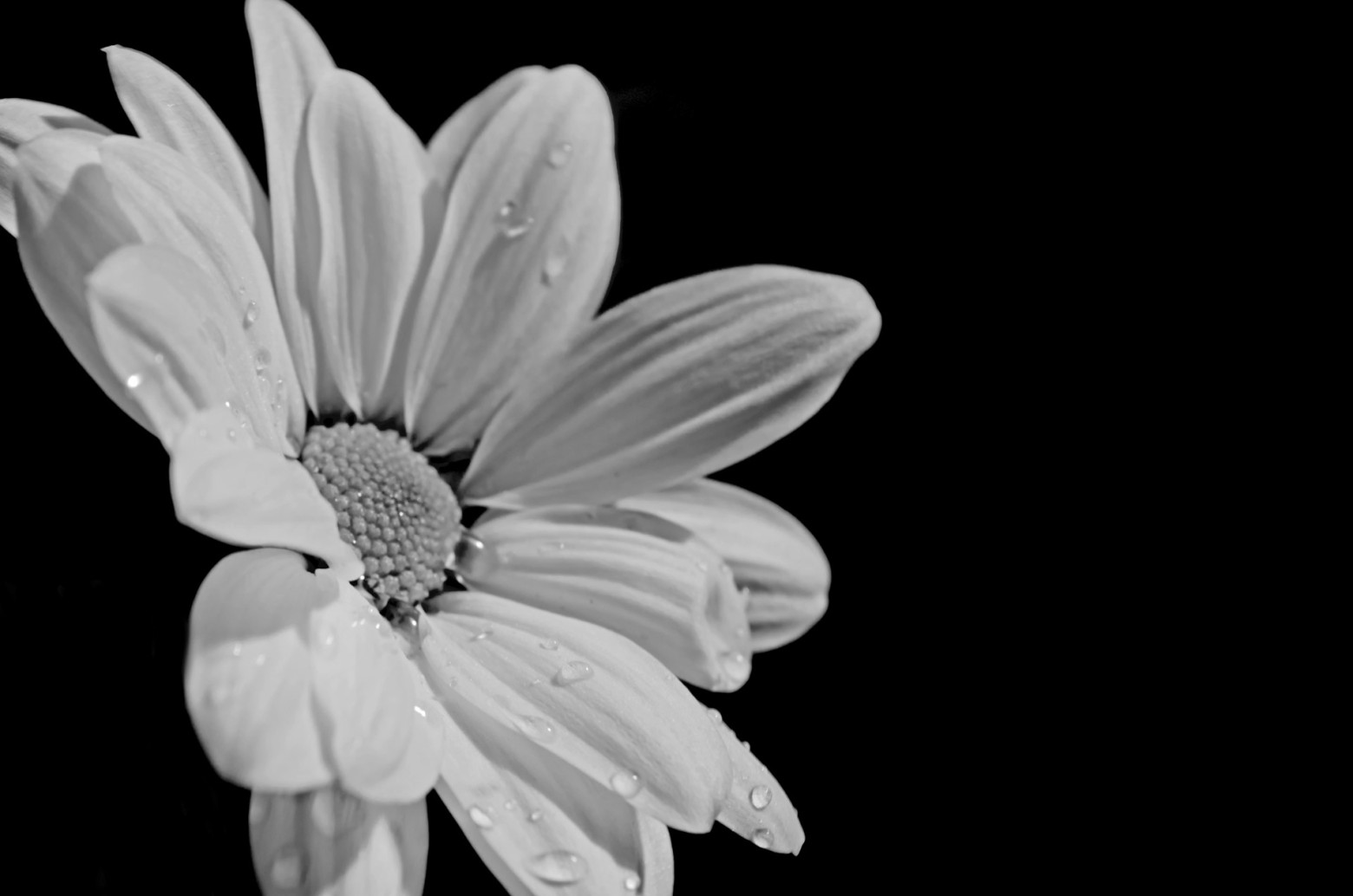 Fleur Marguerite Photo Noir Et Blanc Images Gratuites Et Libres De