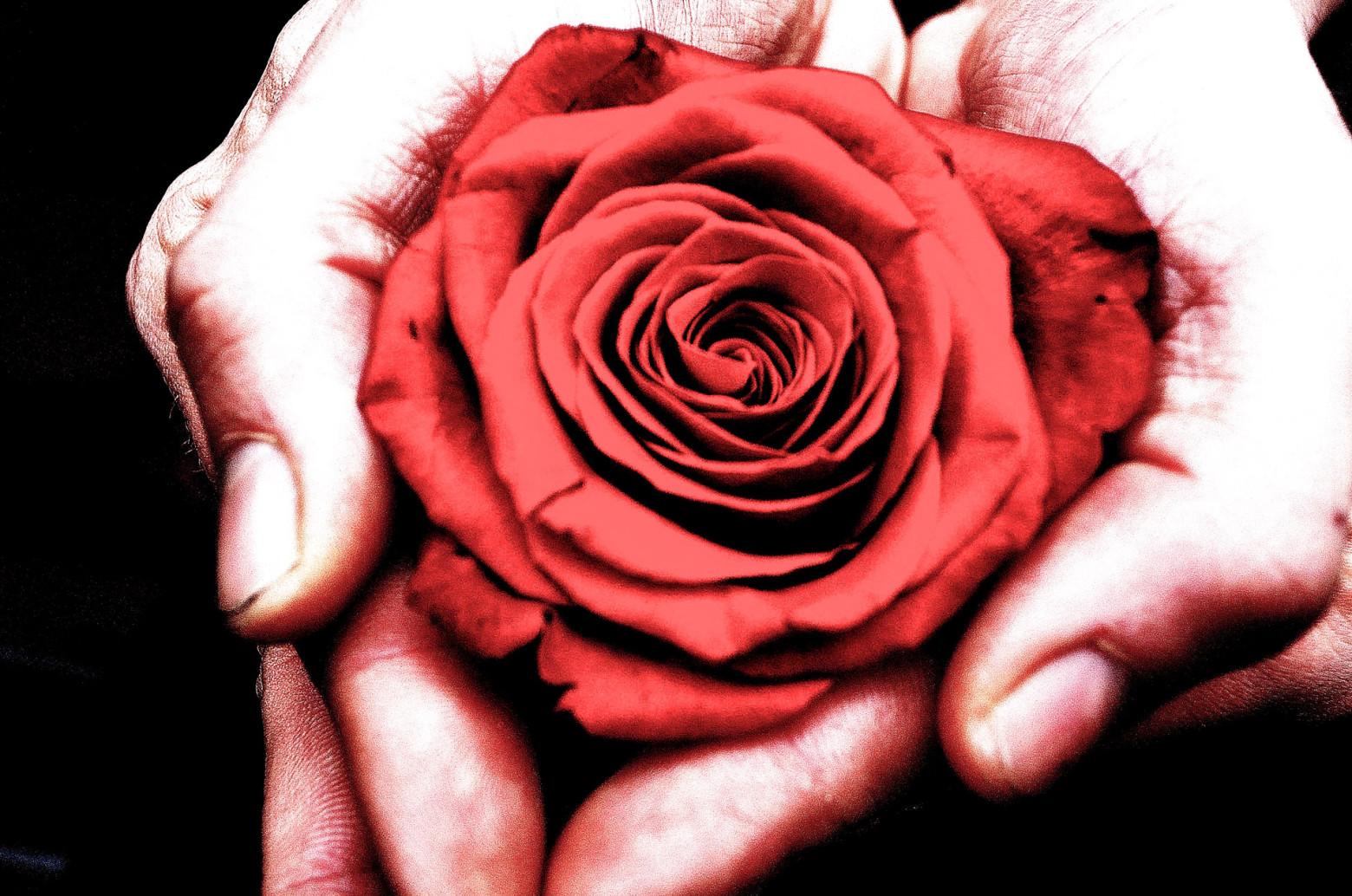fleur rose rouge dans la main