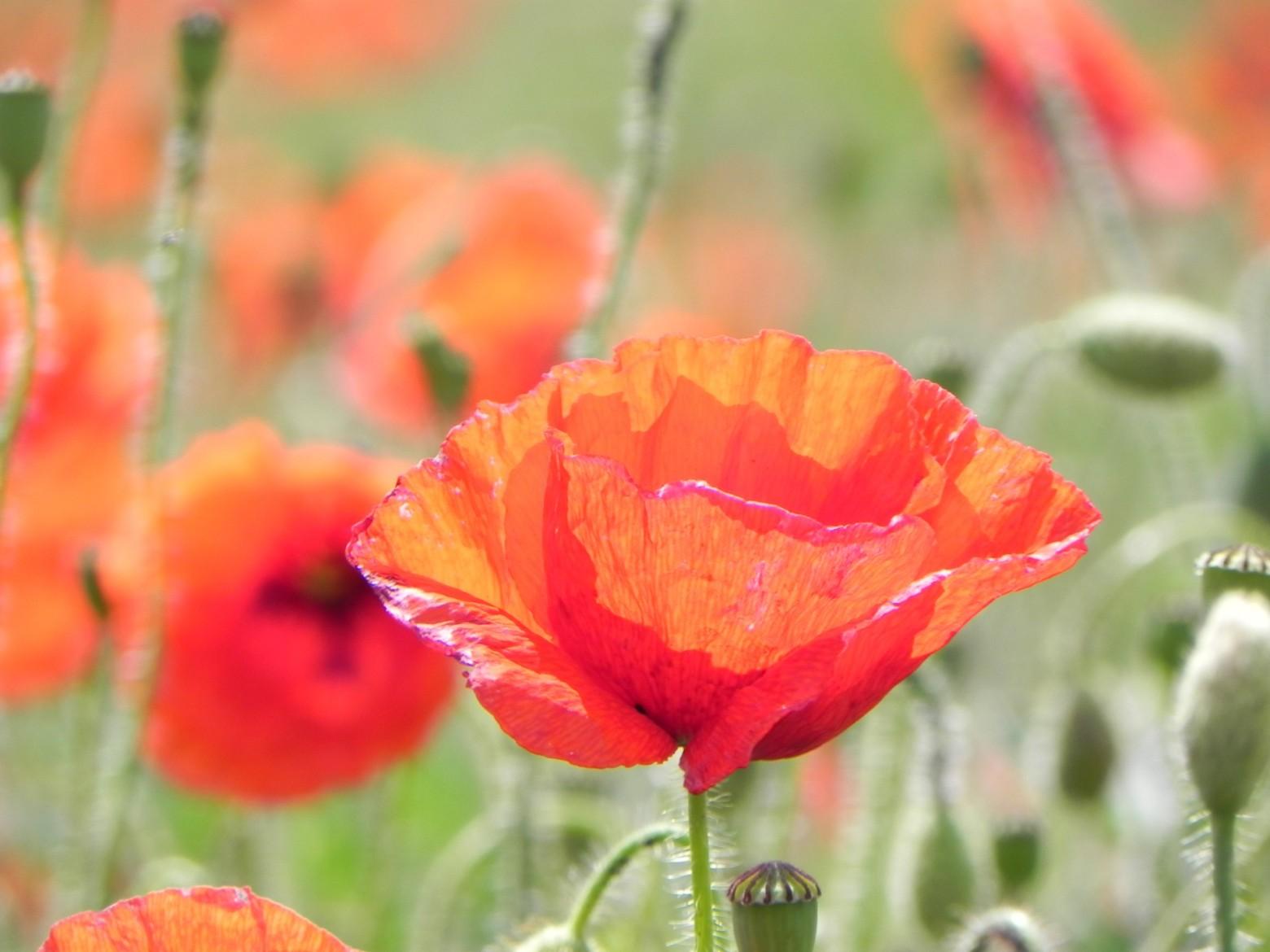 fleurs pavots