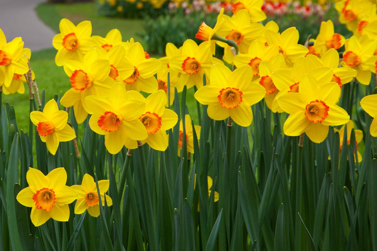 jardin de felur avec des jonquilles jaunes