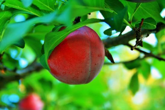 prunier prunes rouges