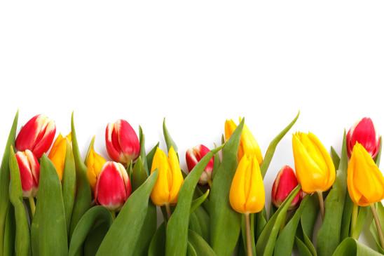 tulipe jaune et rouge sur fond blanc
