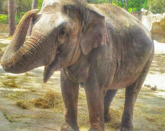 éléphant