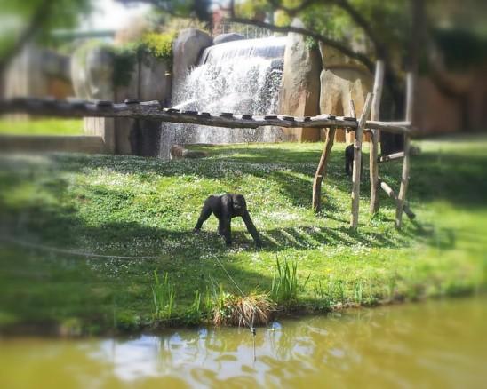 gorille zoo