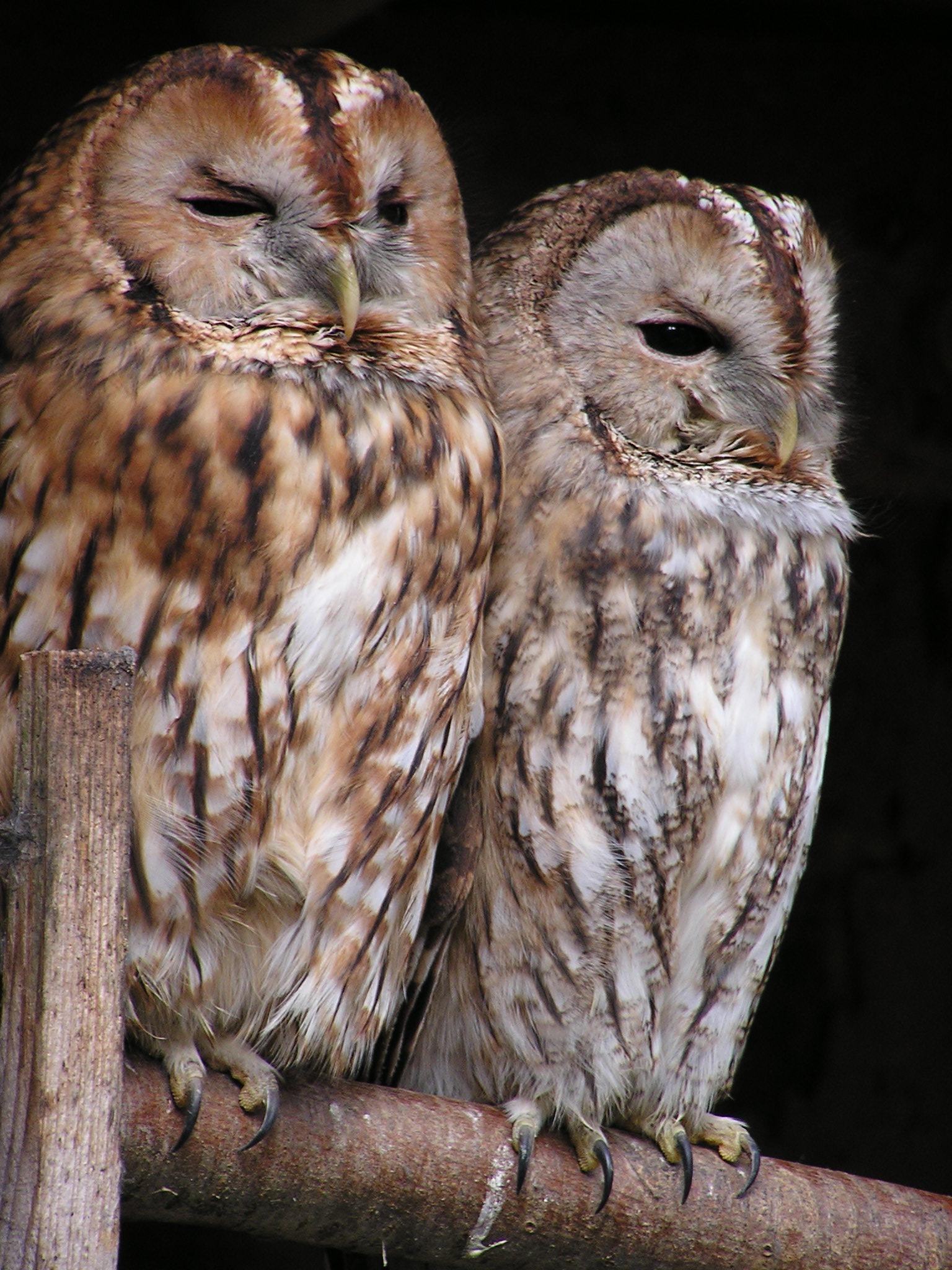 Oiseaux couple de chouette hiboux images gratuites et libres de droits - Image de chouette gratuite ...