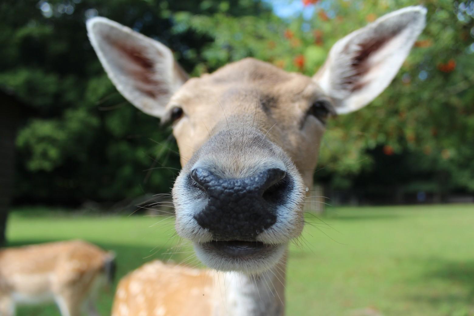 Daim animaux sauvages la faune images photos gratuites - Images d animaux sauvages gratuites ...