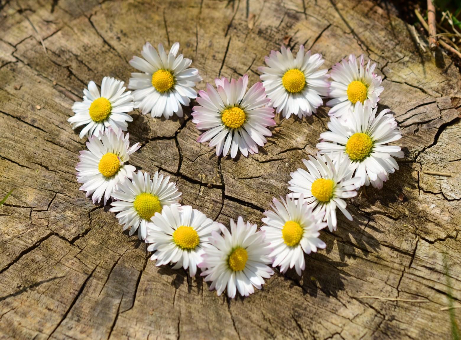 Fleurs Marguerite Formant Un Coeur Images Photos Hd Gratuites