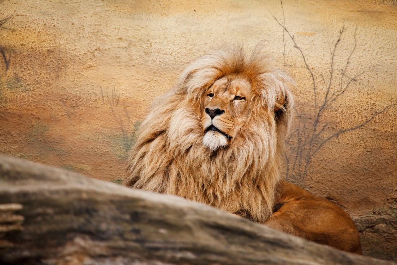 Animal sauvage lion d 39 afrique images photos gratuites - Images d animaux sauvages gratuites ...