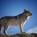 animal sauvage wolf le loup images photos gratuites