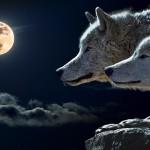 animal sauvage wolf le loup pleine lune images photos gratuites