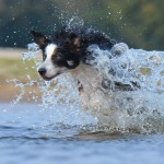 chien border collie sautant dans l' eau  images photos gratuites