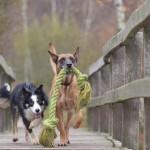 chien malinois et un border collie images photos gratuites