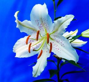 fleur blanche lily sur fond bleu images photos gratuites