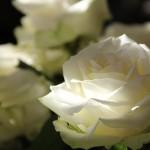 fleur rose blanche images photos gratuites libres de droits