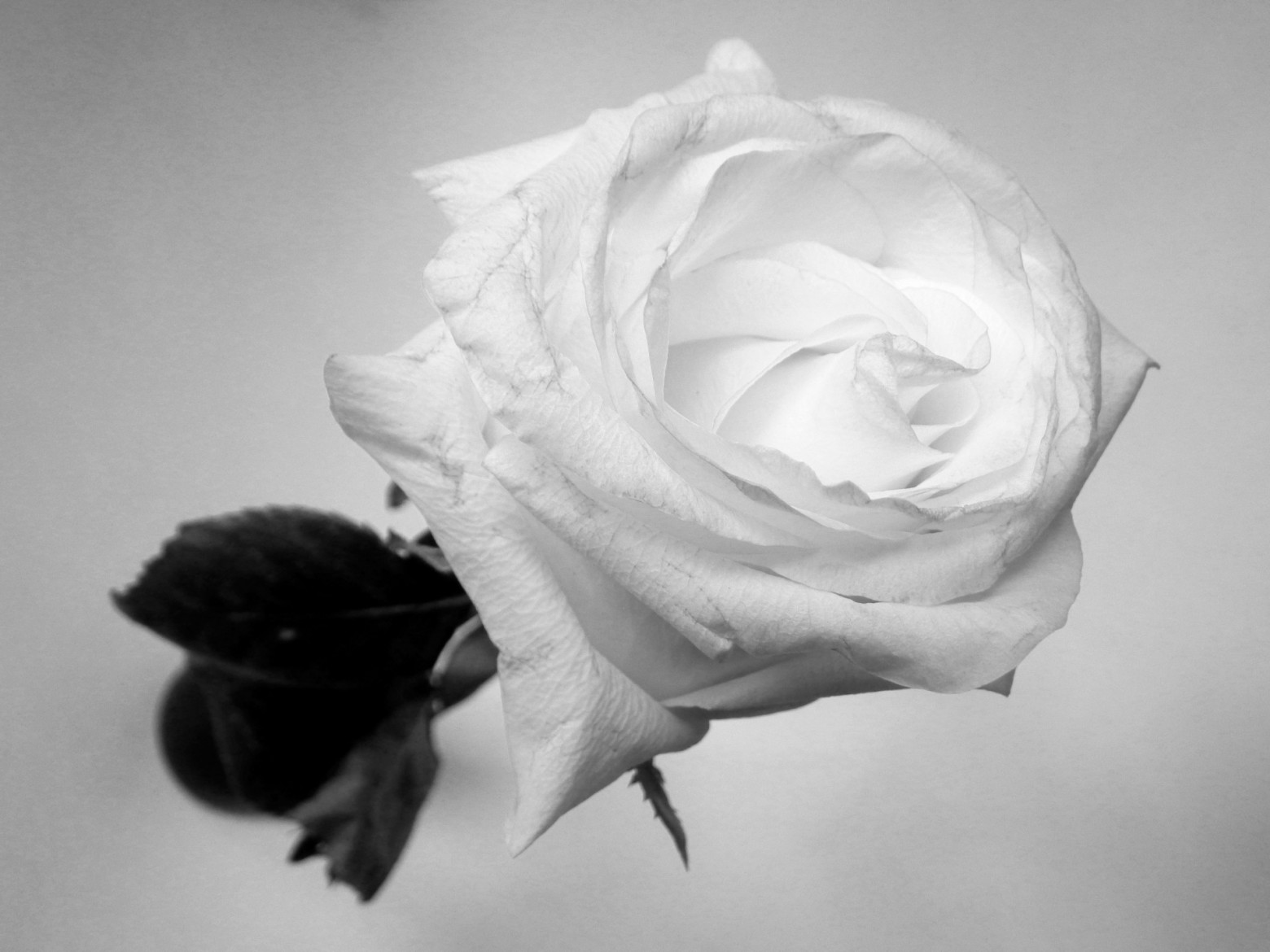 Fleur Rose Blanche Photo En Noir Et Blanc Images Gratuites Images