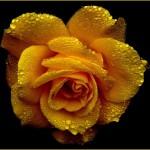 fleur rose jaune images photos gratuites libres de droits1