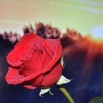 fleurs rouges rose images photos gratuites