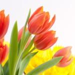 fleurs tulipes sur fond blanc images photos gratuites