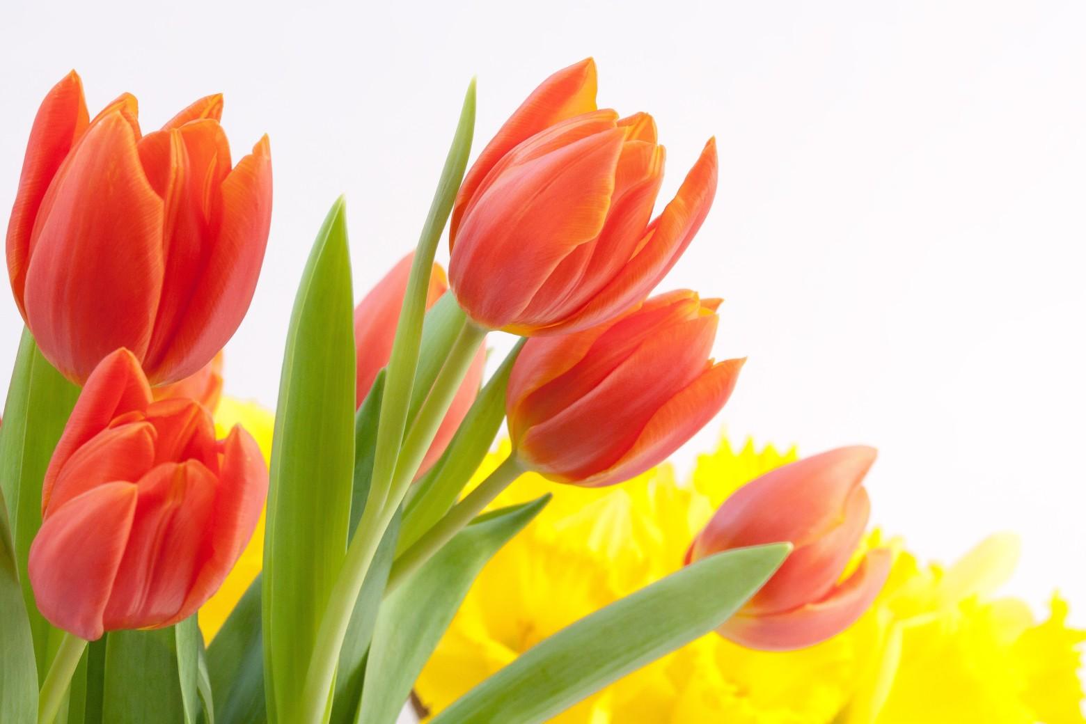 fleurs tulipes sur fond blanc images photos gratuites images gratuites et libres de droits. Black Bedroom Furniture Sets. Home Design Ideas