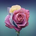 jolie rose sur fond bleu avec des gouttes d' eau images photos gratuites