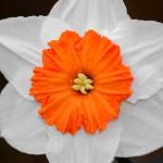 jonquille fleur blanche bicolore images photos gratuites