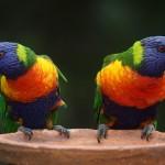 oiseau deux perroquets colorés images photos gratuites