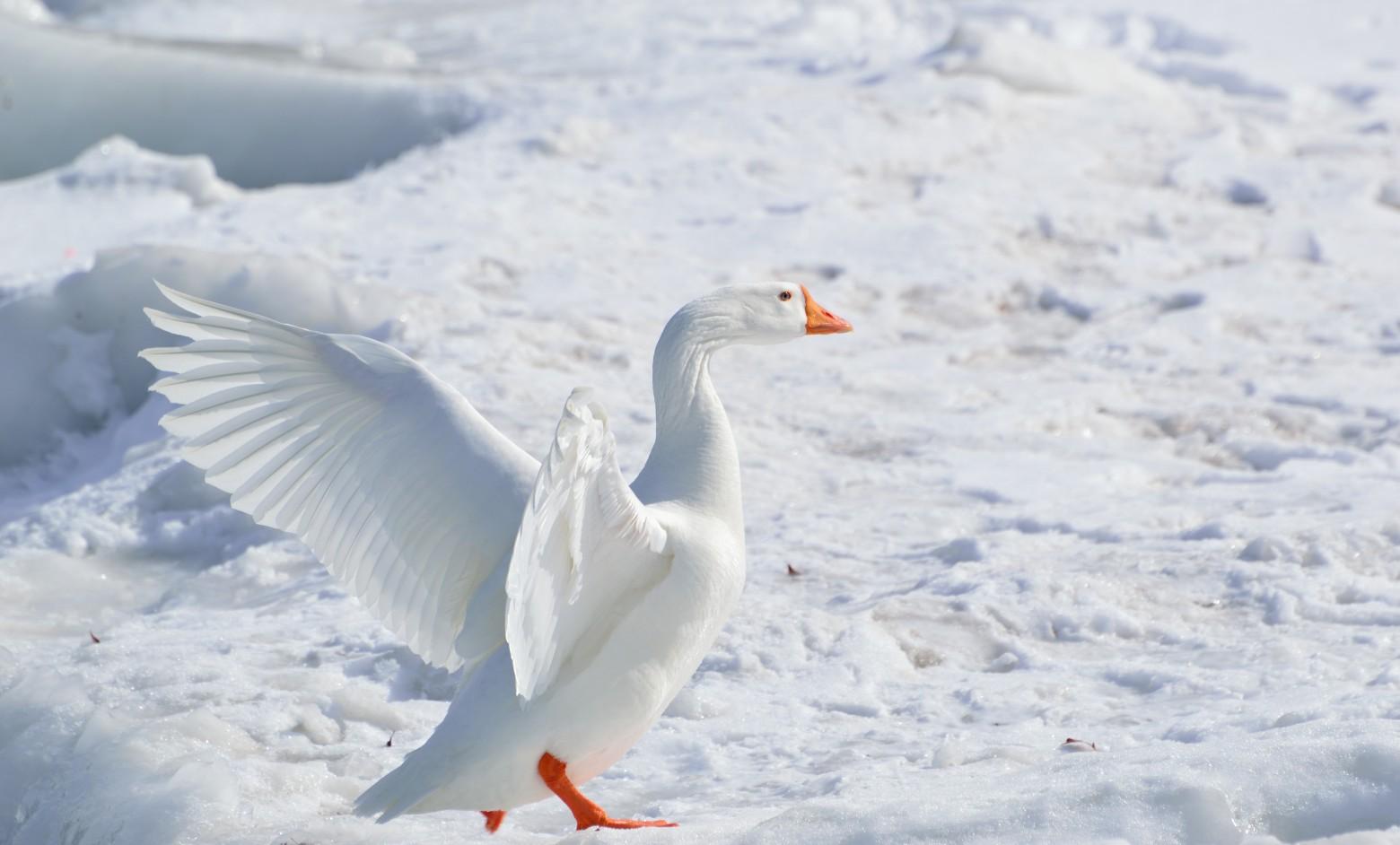 Oiseau oie blanche dans la neige images photos gratuites - Photos de neige gratuites ...