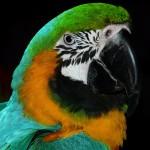 oiseau portrait perrouet parrot isolé sur fond noir images gratuites
