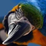 oiseau portrait perrouet parrot isolé sur fond noir images gratuites1