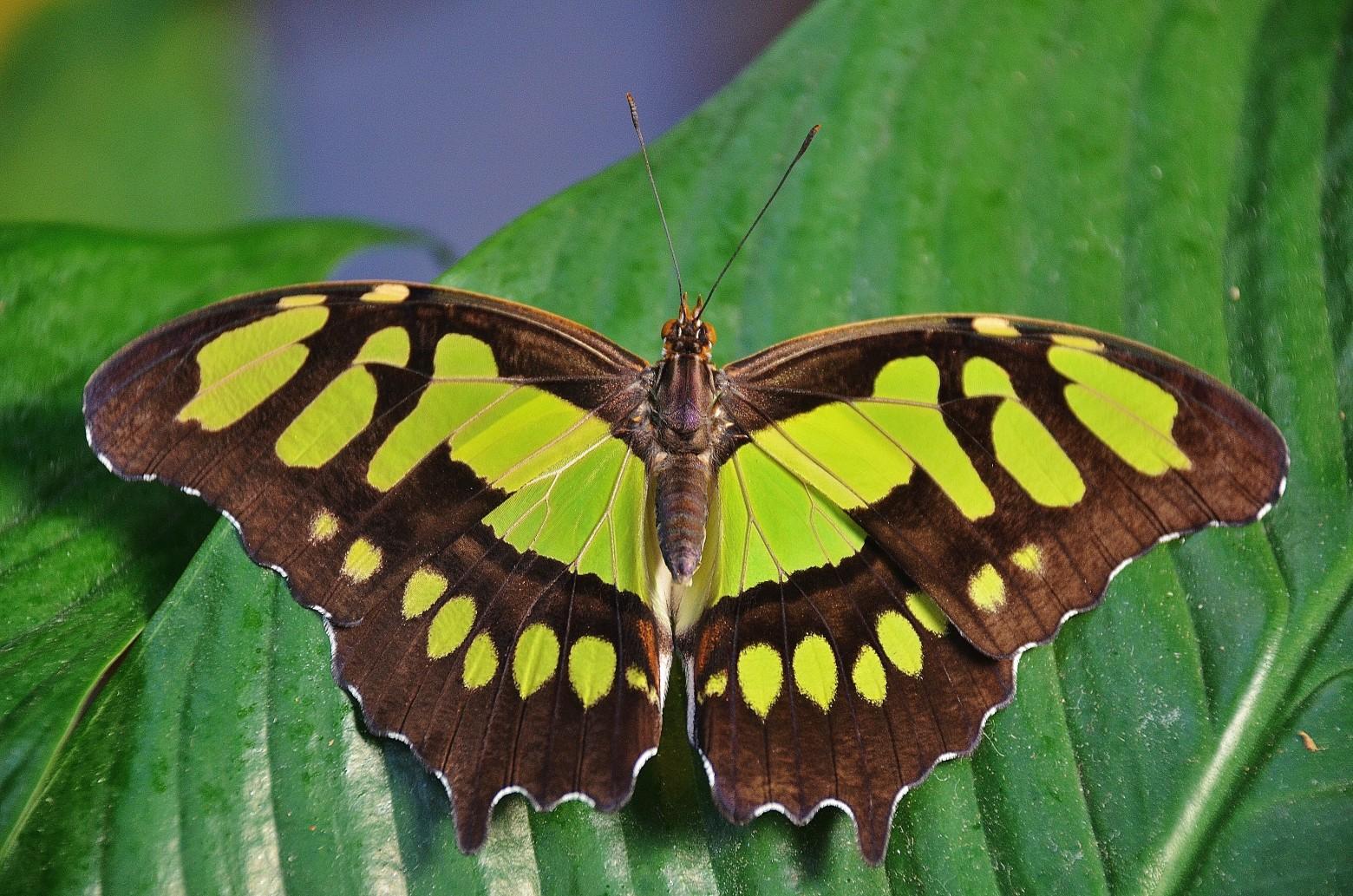 papillon sur une feuille verte nature images photos gratuites libres de droits images. Black Bedroom Furniture Sets. Home Design Ideas