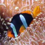 poisson clown nemo images photos gratuites