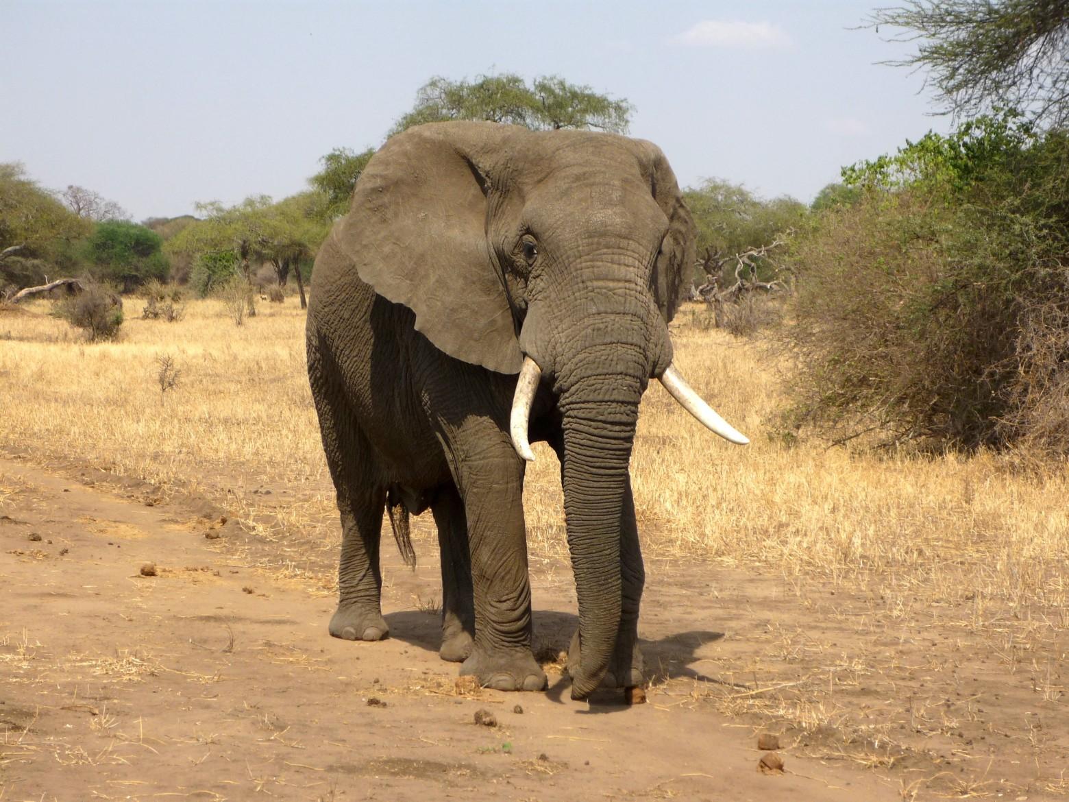 L phant d 39 afrique savane images photos gratuites images gratuites et libres de droits - Photos d elephants gratuites ...
