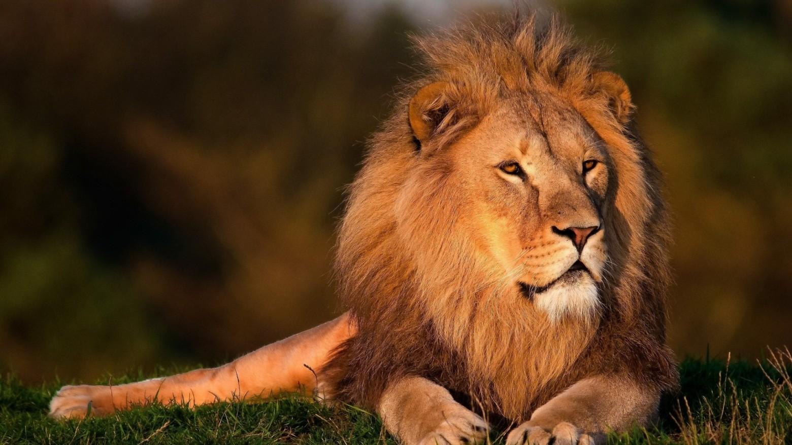 Animaux sauvage lion images photos gratuites images gratuites et libres de droits - Image animaux gratuite ...