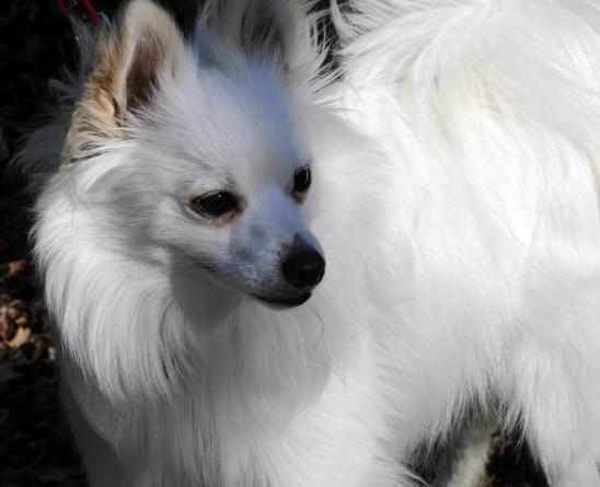 chien blanc pomeranian poméranie images photos gratuites1