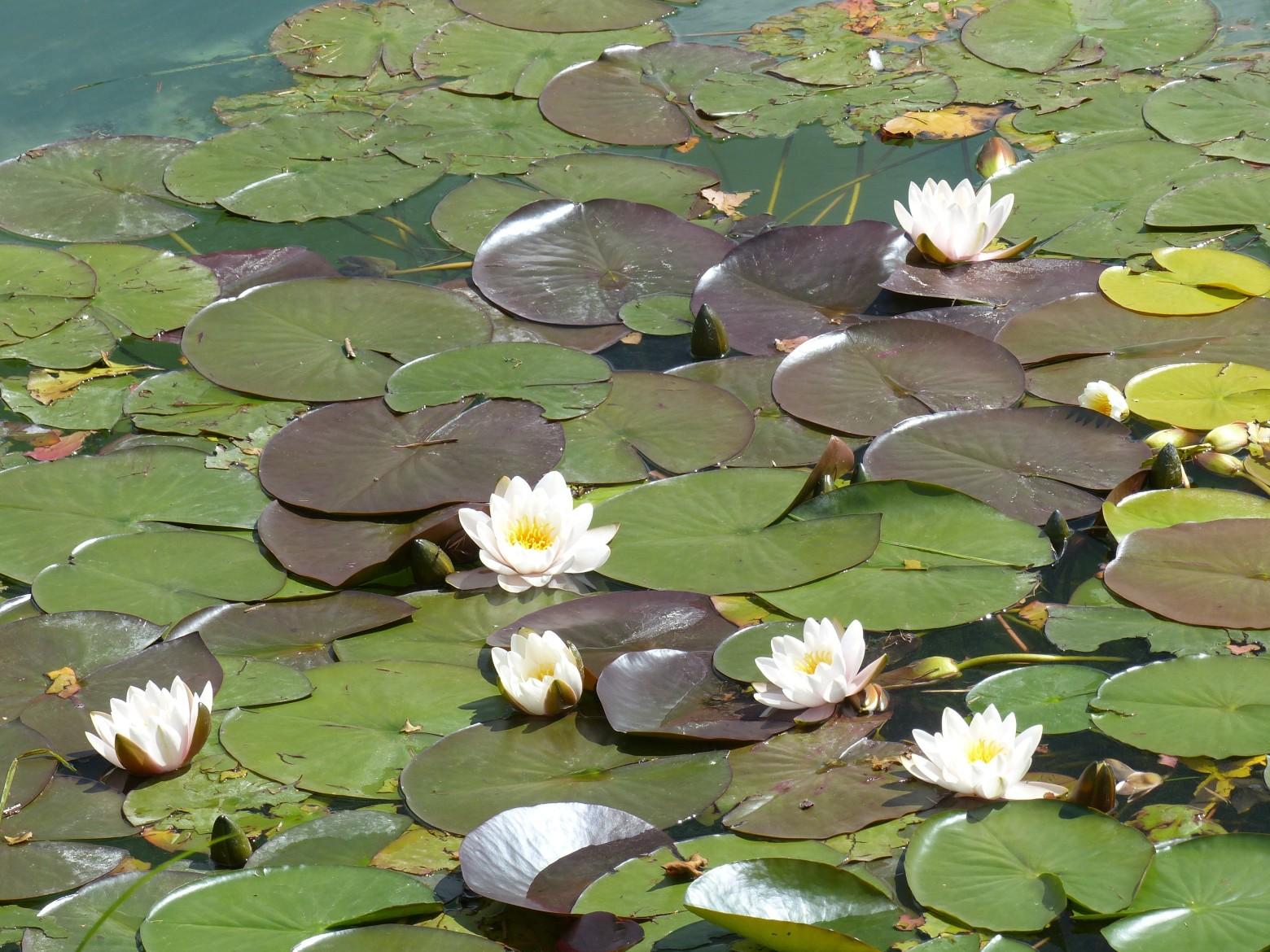 Fleur Aquatique Nenuphar Fleur De Lotus Images Photos Gratuites