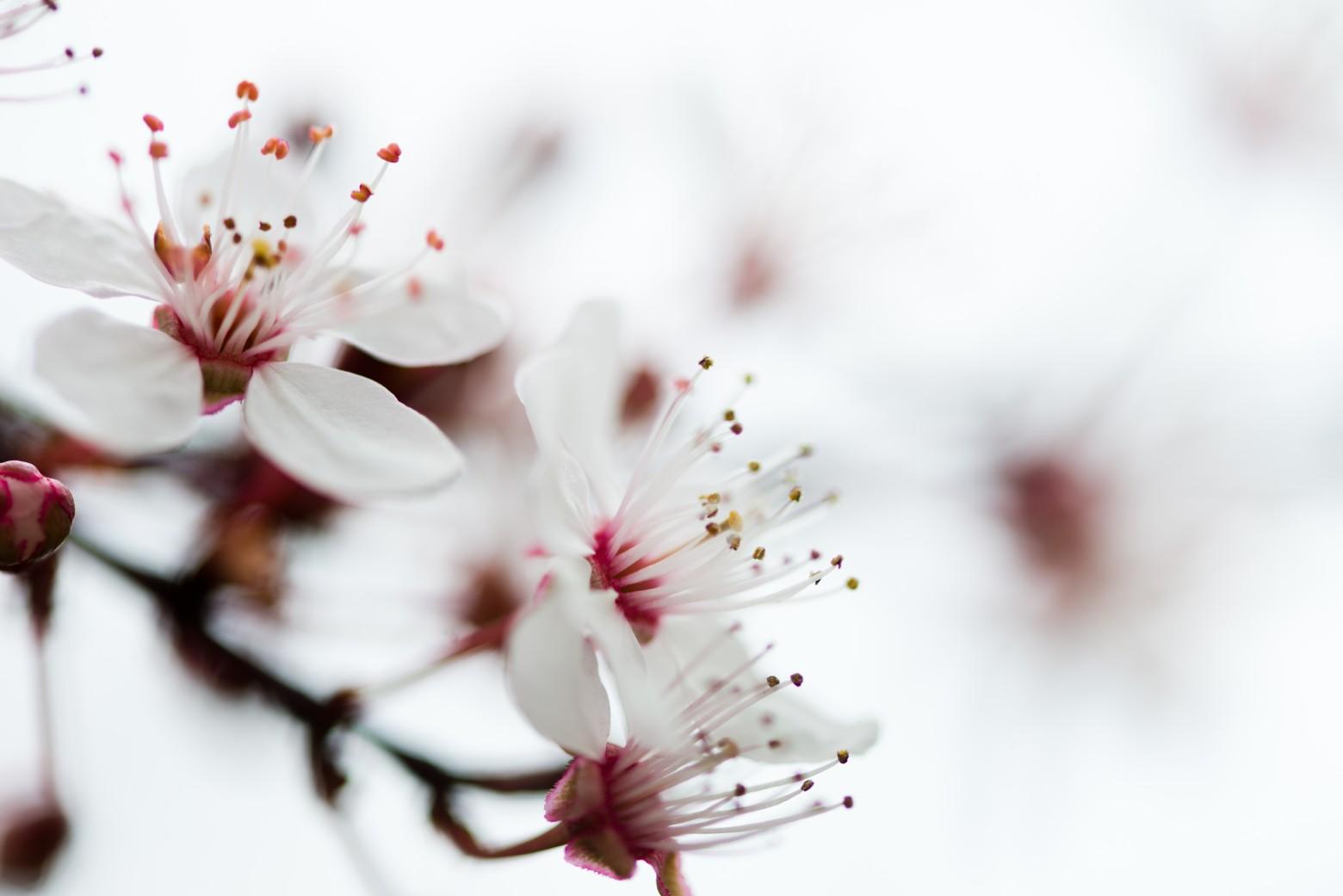 fleur blanche printemps r u00e9sum u00e9 arri u00e8re