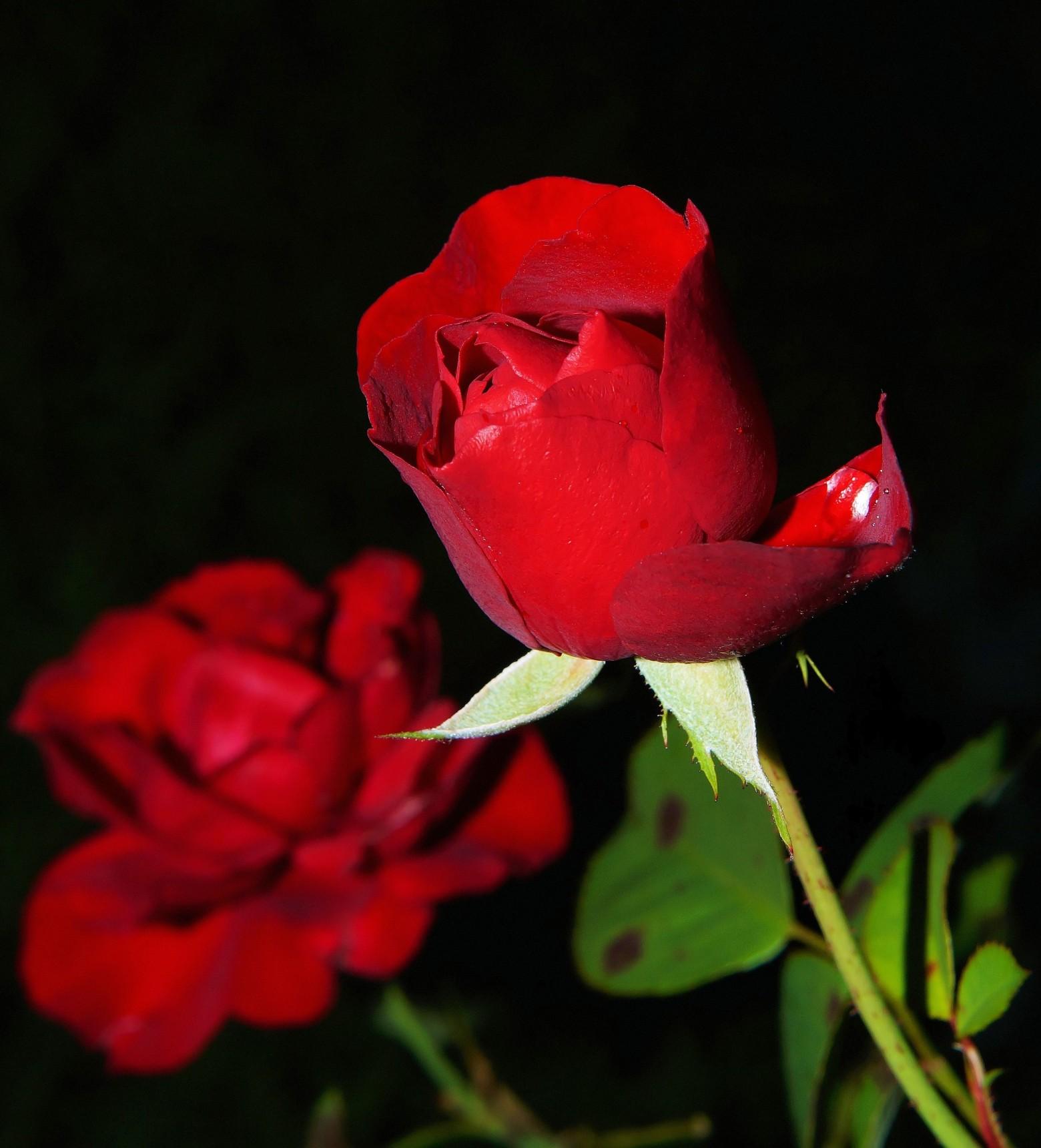Fleur Rose Rouge Images Gratuites Et Libres De Droits