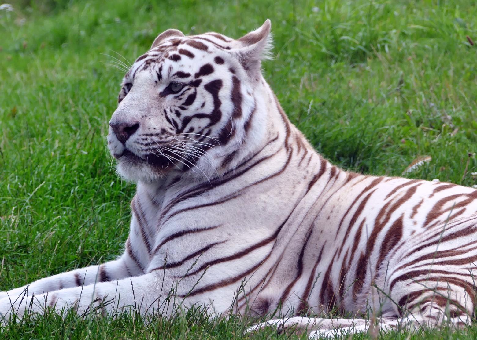 Le tigre blanc images gratuites et libres de droits - Image animaux gratuite ...