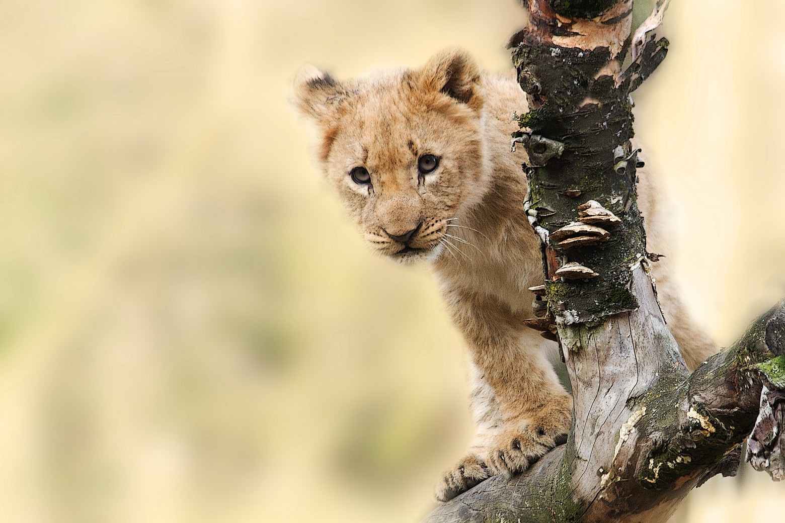 Lion lionceau animaux sauvages images gratuites et - Images d animaux sauvages gratuites ...
