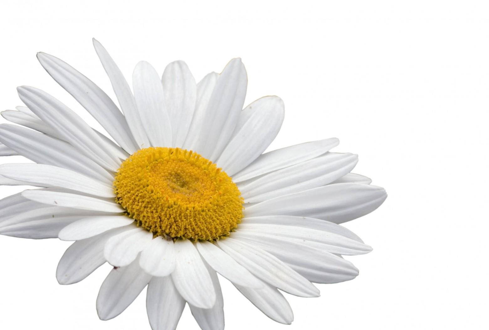 Fleur Marguerite Blanche Isole Sur Fond Blanc Images Gratuites Et