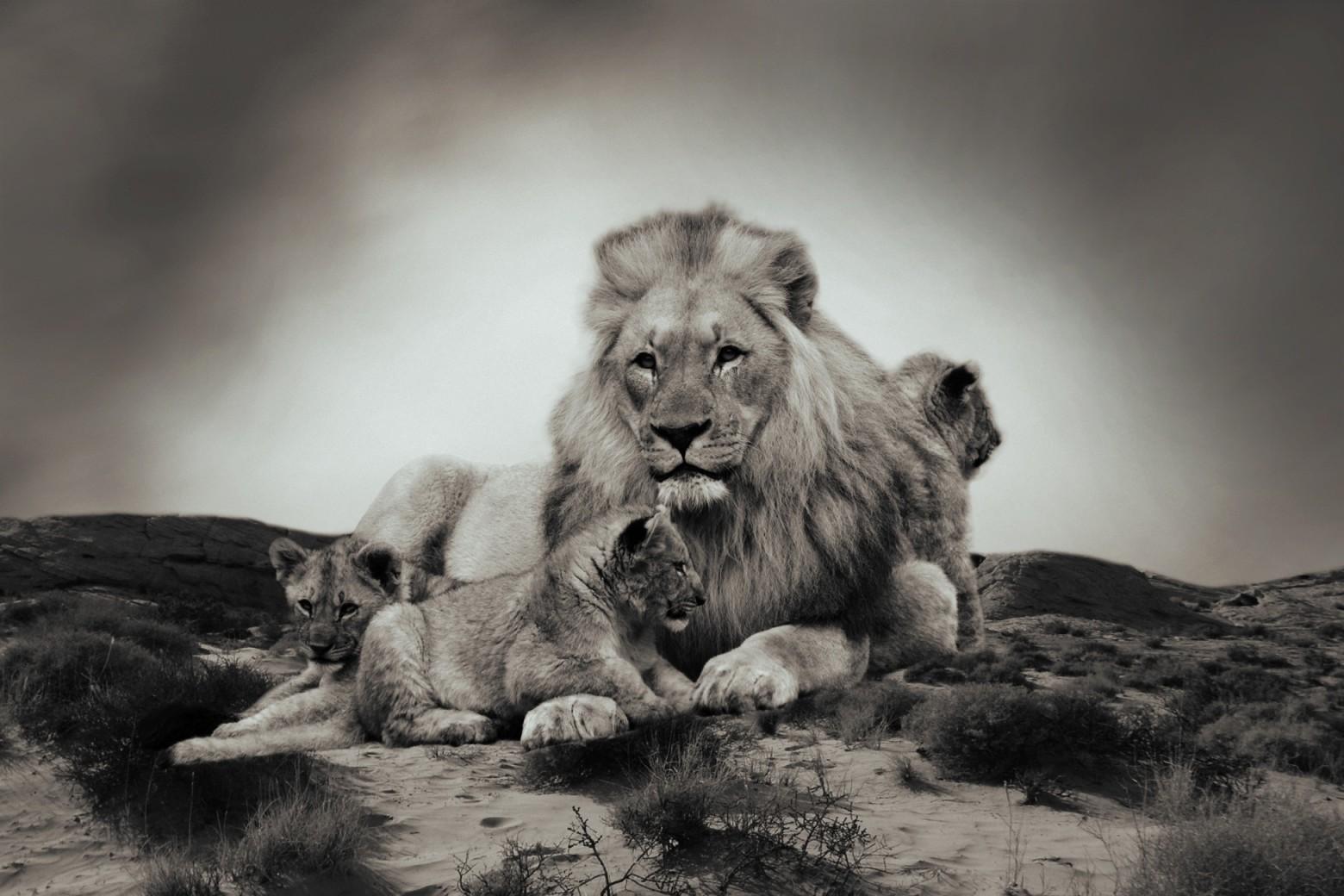 Lion Fond D Ecran Images Gratuites Images Gratuites Et