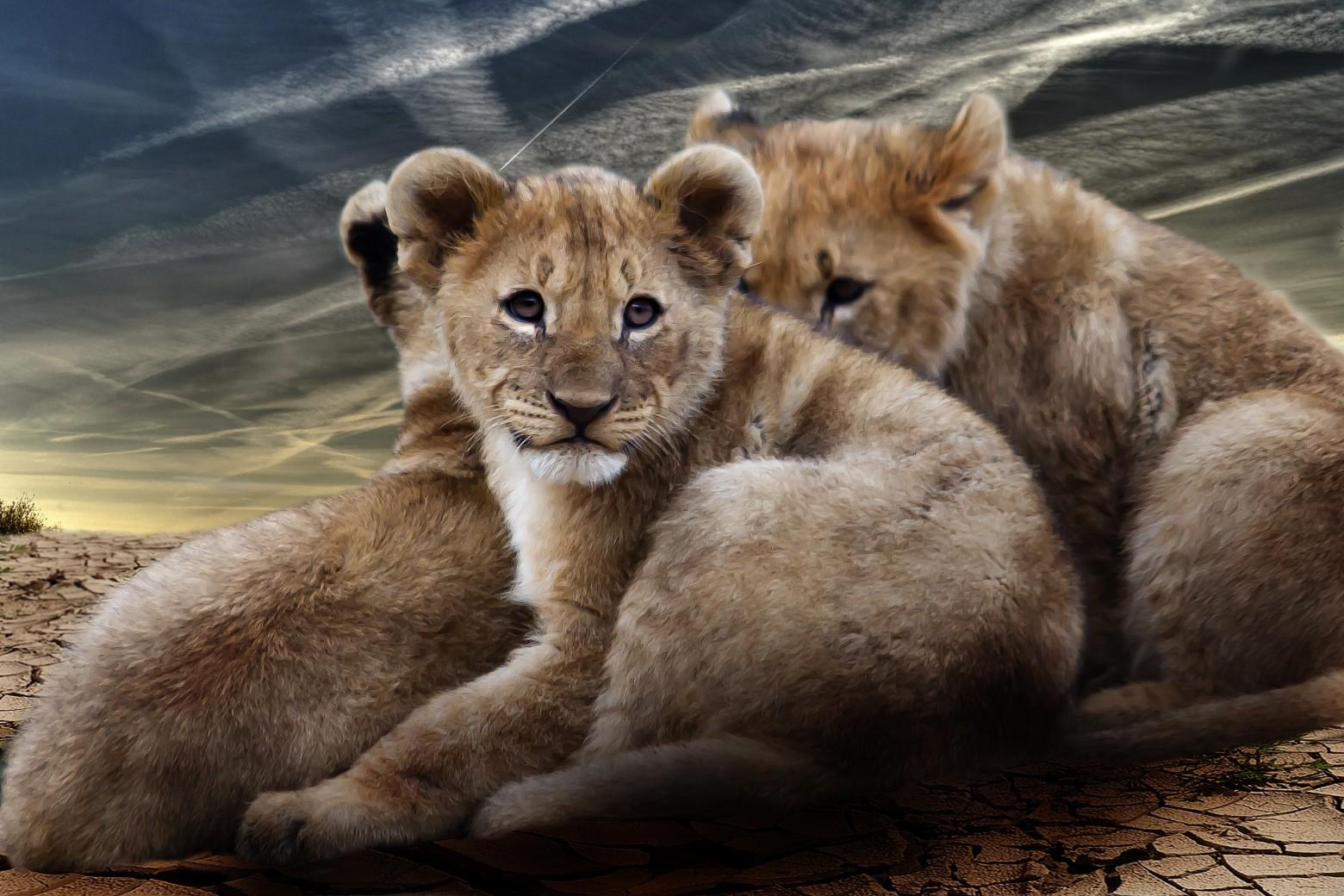 Fond d 39 cran lion lionceau images gratuites images - Photos de lions gratuites ...