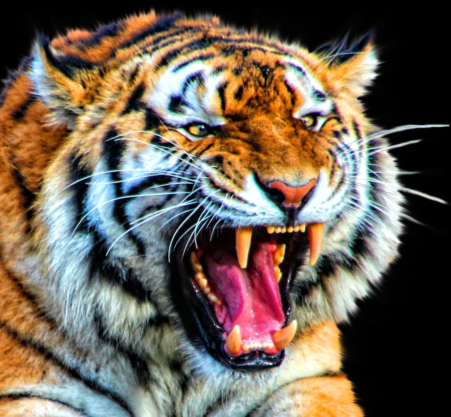Tigre image gratuite images gratuites et libres de droits - Image animaux gratuite ...